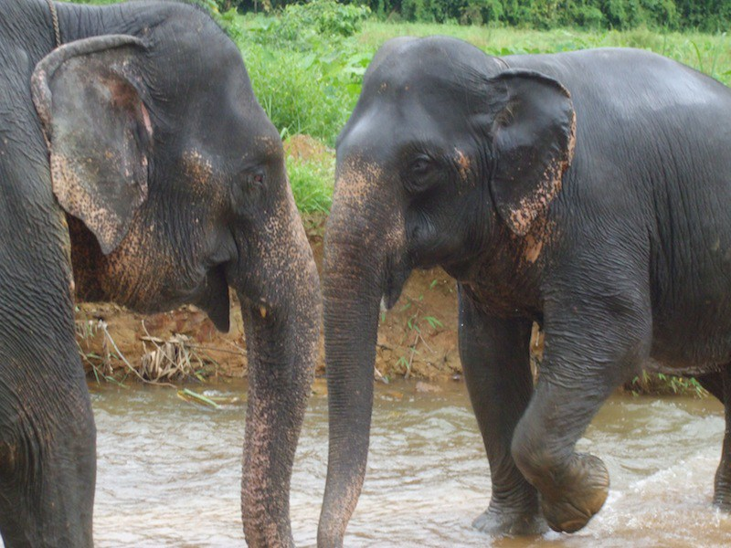 Khao-Sok-Las-Orquideas-Resort-Elephants